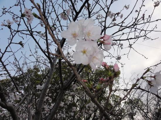 隼人桜2.JPG