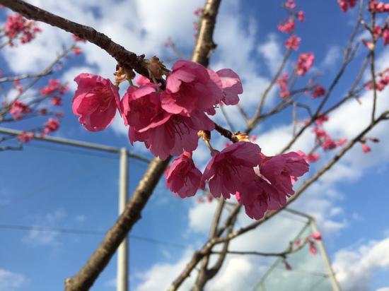 寒桜も満開 2016.JPG