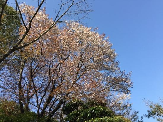 山桜2016.JPG
