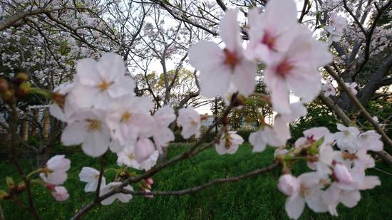 桜2017.JPG