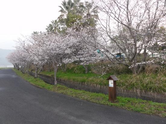 隼人桜.JPG